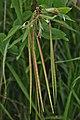 Dogbane (Apocynum sp.) - Kitchener, Ontario.jpg