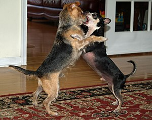 Dog behavior - Dogs roughhousing