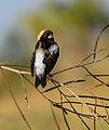 Dolichonyx oryzivorus - Andrea Westmoreland.jpg