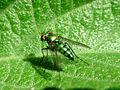 Dolichopodidae az.jpg