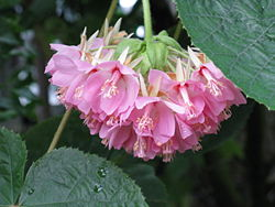 meaning of dombeya
