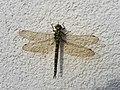 Dornbirn-Libelle.jpg