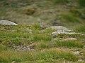 Dotterel (Charadrius morinellus) - geograph.org.uk - 1036187.jpg