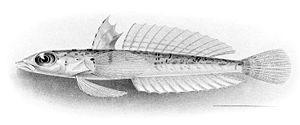 Draconettidae - Draconetta xenica