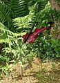 Dracunculus vulgaris Orchi 141.jpg