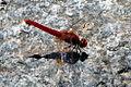 Dragonfly - Caldas de Monchique - The Algarve, Portugal (1387651847).jpg