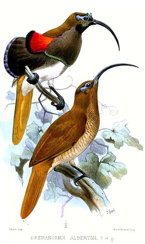 Black-billed sicklebill - Illustration of male (above) and female (below)