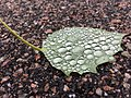 Droplets on Leaf.jpg