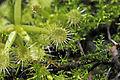 Drosera rotundifolia Linnaeus, 1753 300-3-9809.JPG