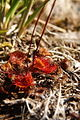Drosera rotundifolia PID1864-6.jpg
