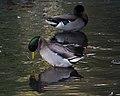 Ducks in Central Park (30088).jpg