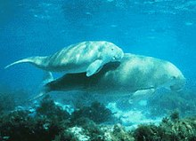 A large dugong swimming towards the right with a smaller dugong half its size hugging its back, both in very shallow water with the surface and seabed just above and below them respectively