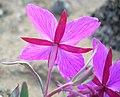 Dwarf Fireweed - Ranunculus nivalis (2662541607).jpg