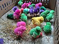 Dyed chicks in Pasty Market 02.jpg