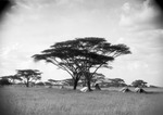 ETH-BIB-Camp Serengeti unter Schirmakazien-Kilimanjaroflug 1929-30-LBS MH02-07-0491.tif