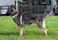 East-European Shepherd in Riga 1.JPG