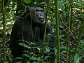 Eastern Chimpanzee (Pan troglodytes schweinfurthii) (6922108686).jpg