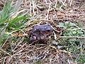 Eastern Spadefoot Toad (4679141124).jpg