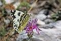 Eastern bath white (Pontia edusa) female Macedonia.jpg