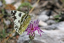 Eastern bath white (Pontia edusa) female Macedonia.jpg