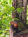Eastern chipmunk RGSP May 2010.JPG