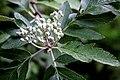 Eberesche (Sorbus aucuparia Beini) 5918.jpg