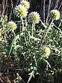 Echinops strigosus inflores2.jpg