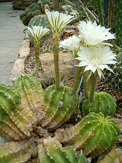 <i>Echinopsis eyriesii</i> species of plant