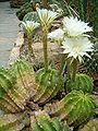 Echinopsis eyriesii HabitusFlowers BotGardBln0806b.JPG