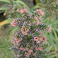 Echium wildpretii-IMG 4519.jpg