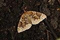 Ecliptopera silaceata (35697431413).jpg
