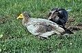 Egyptian Vulture (Neophron percnopterus) at Hodal I IMG 5789.jpg