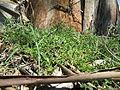 Einadia nutans subsp nutans plant6 (16126902930).jpg