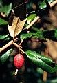 Elaeagnus pungens 1120514.jpg