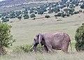 Elephant heads to the plains (42131943144).jpg