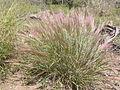Elymus elymoides (3704509836).jpg