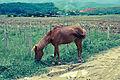 Emaciated Horse Jinghong, Yunnan, China.jpg