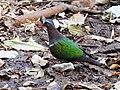Emerald Dove Chalcophaps indica by Dr. Raju Kasambe best DSCN9152 (13).jpg
