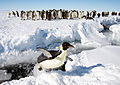 Emperor Penguins, Gould Bay, Antarctica (16437100992).jpg
