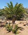 Encephalartos altensteinii, Waterberg.jpg