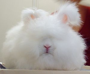 Angora rabbit - A ruby-eyed white English Angora doe.