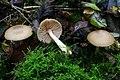 Entoloma rhodopolium 20121111w.JPG