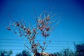 Ephedra antisyphilitica branch.jpg