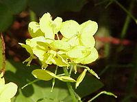 Epimedium pinnatum1
