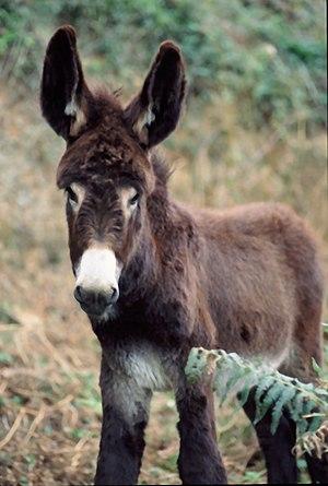 burro. Borrico. Asno. Equus asinus