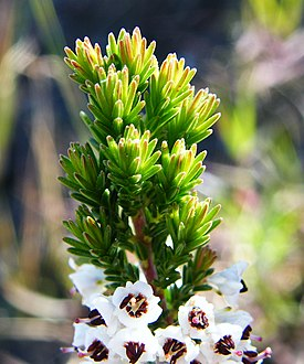 Erica calycina fol and flower.JPG