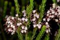 Erica scytophylla 1DS-II 1-C5547.png