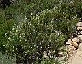 Eriodictyon angustifolium 5.jpg