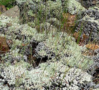 Eriogonum - Eriogonum wrightii var. subscaposum