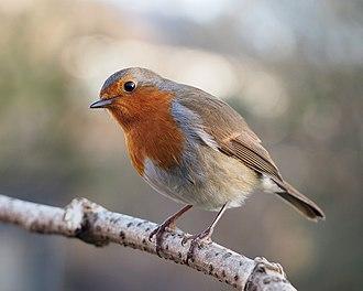 European robin - in Lancashire, England